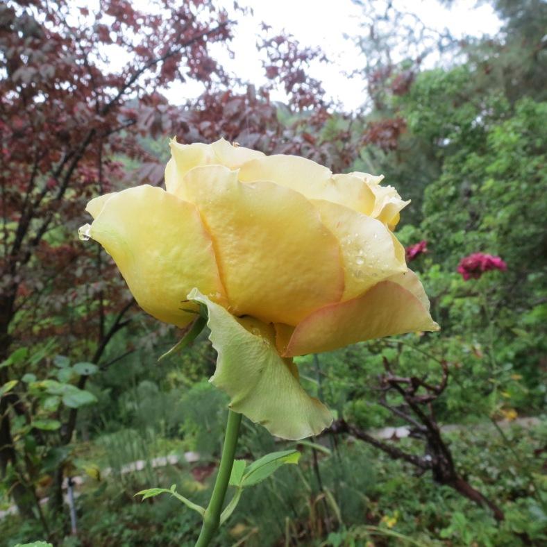 roseinrain